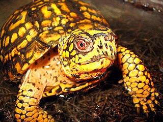 Eastern box turtle subspecies of reptile