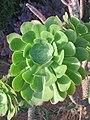 Echeveria species at Ooty (2).jpg