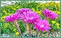 Echinopsis Hybrid Sorceress (150508249).jpeg