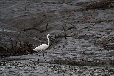 Egret at Sundarbans.jpg