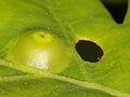 Eichen-Galle - oak gall (10136415106).jpg