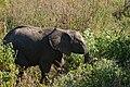 Elephants, Tarangire National Park (39) (28082017003).jpg