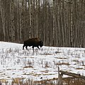 Elk Island Park's Bison Loop 3 (25325861076).jpg