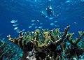 Elkhorn Coral Biscayne NP1.jpg