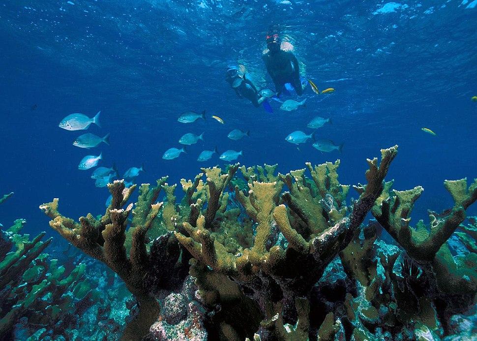 Elkhorn Coral Biscayne NP1