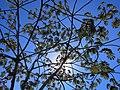 Embaúba sob o sol de inverno em Tiradentes (1512677876).jpg