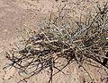 Ephedra nevadensis kz4.jpg