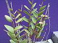 Epidendrum ibaguense schomburgkia-plant-yercaud-salem-India.JPG
