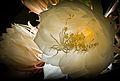 Epiphyllum oxypetalum 9861.jpg