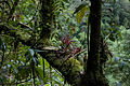 Epiphytes and mosses at La Paz, Costa Rica.jpg