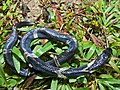 Equatorial Spitting Cobra (Naja sumatrana) juvenile found dead in the parking lot (8439931893).jpg