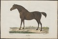 Equus caballus - 1700-1880 - Print - Iconographia Zoologica - Special Collections University of Amsterdam - UBA01 IZ21800080.tif