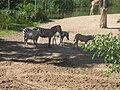 Equus quagga boehmi in Burgers' Zoo (Safari).jpg