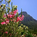 Erica flowers at Kirstenbosch (38290163041).jpg