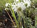 Erigeron pumilus (26977226894).jpg