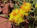 Eriogonum flavum (5006098373).jpg