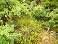 Eriophorum russeolum1 2013-7-03 AkershusFylke.jpg