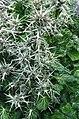 Eryngium variifolium 2.jpg