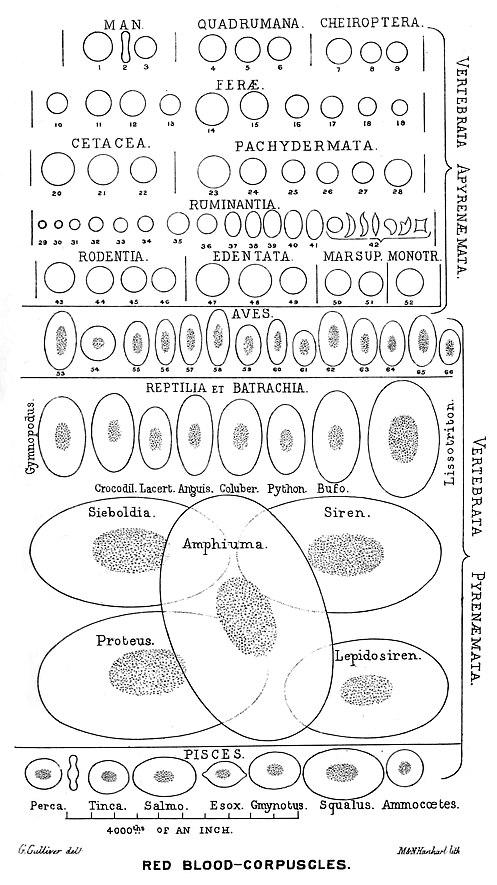 Erythrocytes in vertebrates