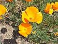 Eschscholzia californica - Kew 10.jpg