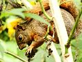 Especie de ardilla (Sciurus), Henri Pittier, Venezuela 9.jpg