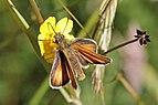 Essex Skipper (Thymelicus lineola) female Sweden.jpg