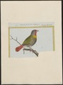 Estrilda melba - 1700-1880 - Print - Iconographia Zoologica - Special Collections University of Amsterdam - UBA01 IZ15900157.tif