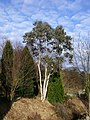 Eucalyptus Niphophila, Colzium Estate, Kilsyth - geograph.org.uk - 1707054.jpg