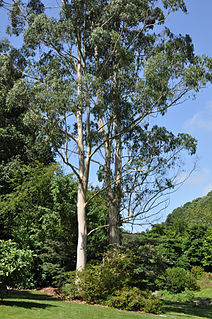<i>Eucalyptus dalrympleana</i> Species of plant