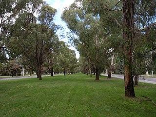 <i>Eucalyptus elata</i> Species of eucalyptus