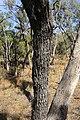 Eucalyptus largiflorens (32623075926).jpg