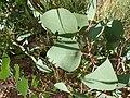 Eucalyptus polyanthemos (5369775570).jpg