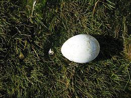 Eudyptes chrysolophus-egg (South Georgia)