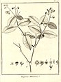Eugenia montana Aublet 1775 pl 195.jpg