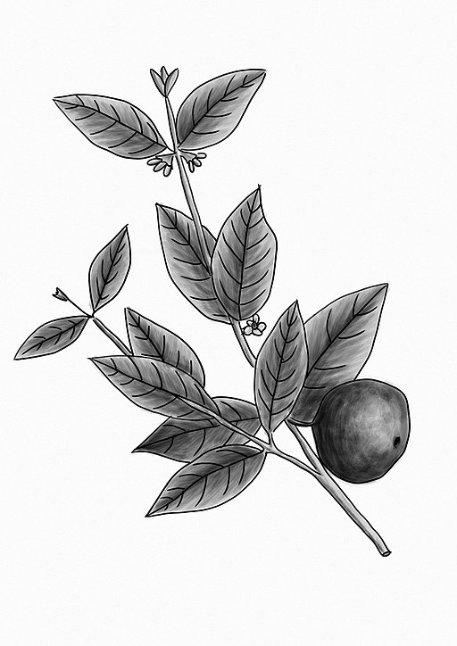 dibujo blanco y negro de la planta de araza