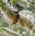 Euodynerus variegatus. Eumeninae - Flickr - gailhampshire (1).jpg