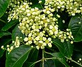 Euonymus carnosus flower 2.jpg