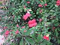 EuphorbiaMiliiVarSplendensFlower.jpg