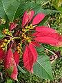 Euphorbia pulcherrima-Christmas flower, Poinsettia.jpg