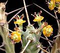 Euphorbia xylacantha ies.jpg