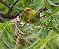 Eurasian Golden Oriole (Oriolus oriolus)- Female on nest W IMG 9562.jpg