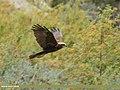 Eurasian Marsh Harrier (Circus aeruginosus) (50615142282).jpg