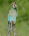 Eurasian Roller (Coracias garrulus semenowi) (16520049355).jpg