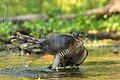 Eurasian Sparrowhawk male - Castelletto Merli - Italy FJ0A2626 (30806288658).jpg