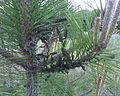 European Pine Sawflies on Austrian Pine.jpg