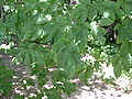 European hornbeam leaves.JPG