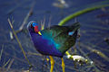 Everglades27(js)-American Purple Gallinule.jpg