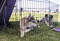 Exercise pen for dogs.jpg