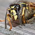 Exhausted Wasp (5977128295).jpg