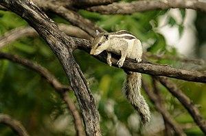 Northern palm squirrel - Northern palm squirrel or five-striped palmsquirrel in a garden near Jodhpur, Rajasthan.